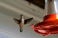 Humming Birds (First Time)